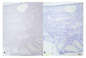 Рис.2 Анализ хондрогенной дифференцировки. Окрашивание О-сафранином (а) и толуидином (b).