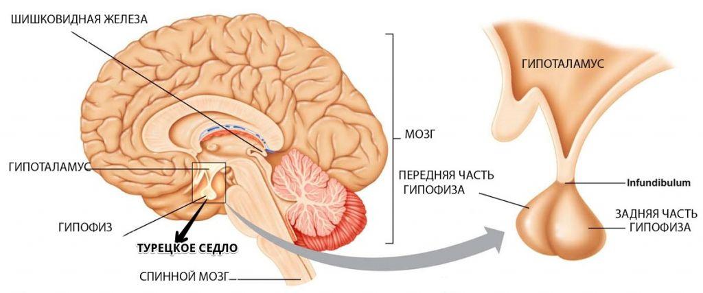 Аденома гипофиза головного мозга: операция по удалению, симптомы, лечение и последствия