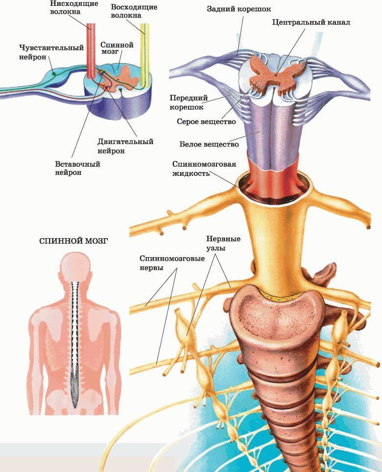 Как восстановить спинной мозг