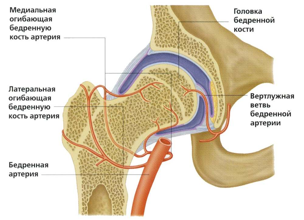 Кровоснабжение тазобедренного сустава